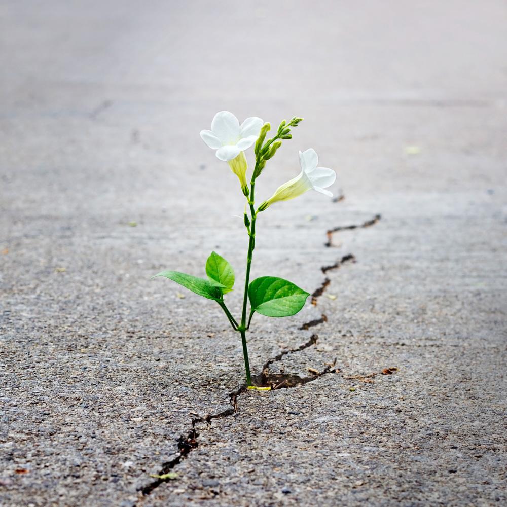 Blume wächst aus Riss in Straße